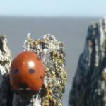 Lieveheersbeestje op het Wad