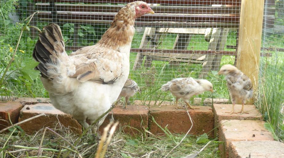 In de kippenren
