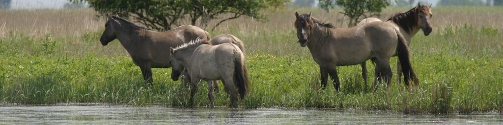 lauwersmeer-paarden